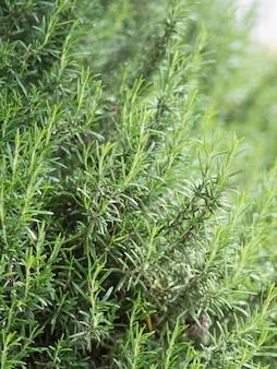 Bush des frischen grünen rosmarins