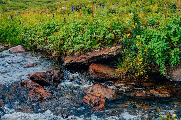 Bush mit blühenden gelben blumen des silberkrauts nahe quellwasser mit steinen