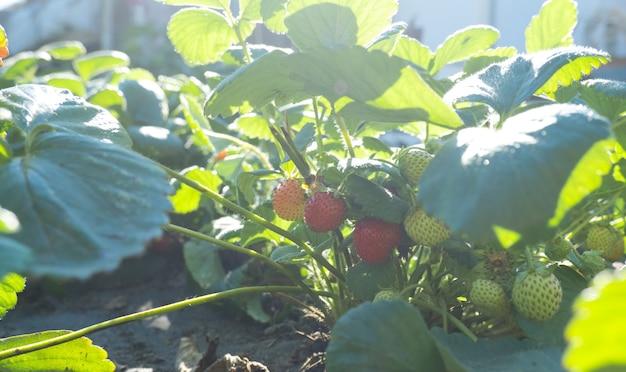 Bush mit frischen roten und grünen erdbeeren auf einem gartenbett in der sonne.
