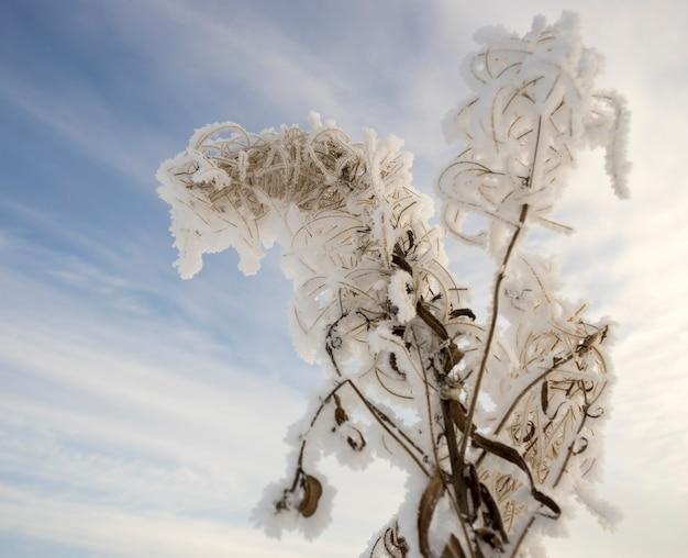 Bush trockener ivan-tee im frost auf dem hintergrund des himmels