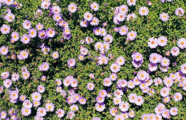 Bush von kleinen purpurroten blumen