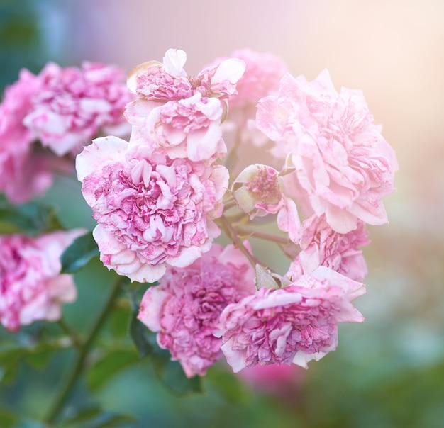 Bush von rosen mit verblaßten rosa blumen an einem sommerabend