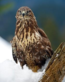 Bussard (buteo buteo), der im winter auf einem ast sitzt.