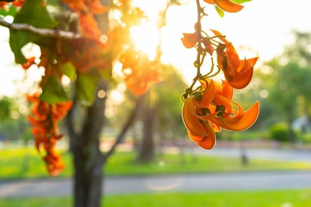 Butea monosperma oder bastard teak flower flower auf baum im park