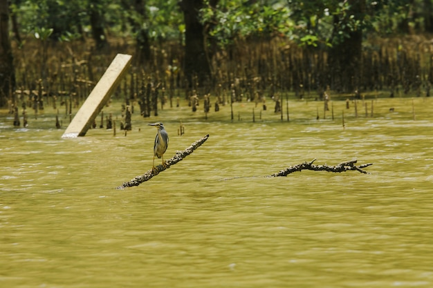 Butorides striatus steht auf den ästen über dem wasser. ist ein kleiner vogel im mangrovenwald gefunden