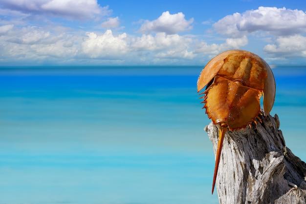 Cacerola de mar limulus polyphemus mexiko