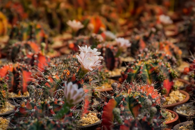 Cactus.beautiful kaktusblüten im hafen.