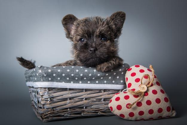 Cairn terrier welpe mit rotem herzen