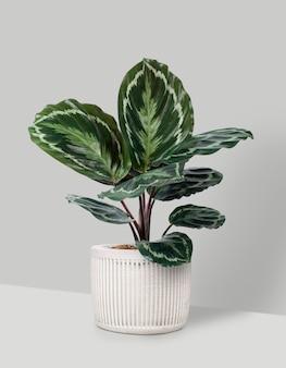 Calathea-medaillonpflanze im weißen topf