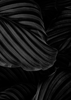 Calathea orbifolia natürlicher blätterhintergrund