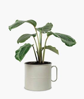 Calathea-pflanze im krug