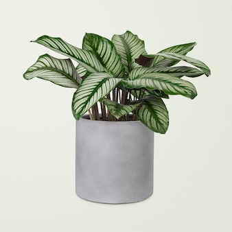 Calathea-pflanze in einem grauen topf