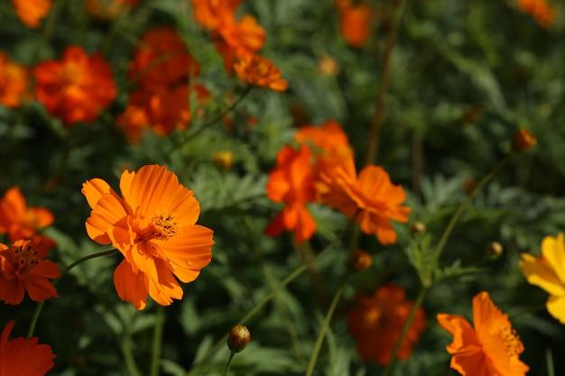Calendula blume oder ringelblume blume