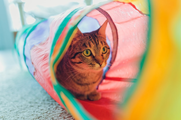 Calico cat gerahmt und alarm in cat tunnel toy.