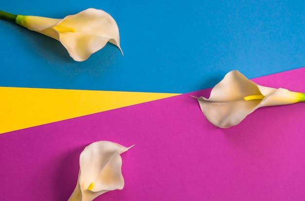 Callas auf dreifarbigem, gelbem, violettem und hellblauem hintergrund.