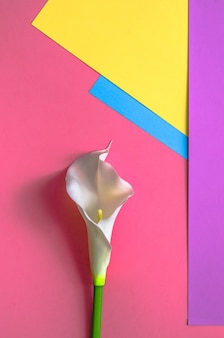 Callas auf vier-ton-normallack gelb, rosa, violett und hellblauem hintergrund.