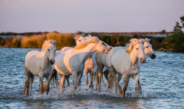 Camargue-pferde laufen wunderschön am wasser in der lagune entlang