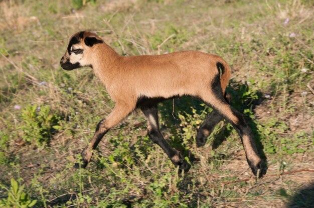 Cameroun chocolare kein brauner ovis herbivore