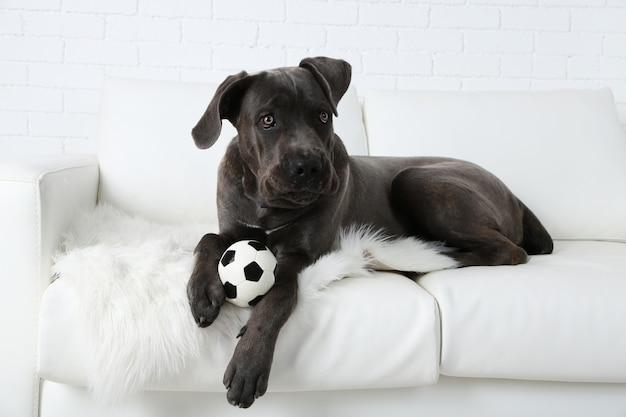 Cane corso italiano hund auf sofa liegend mit ball zu hause