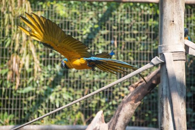 Caninde-ara, schöne aras in einem rehabilitationszentrum in brasilien, bevor sie in die natur zurückkehren. natürliches licht, selektiver fokus.