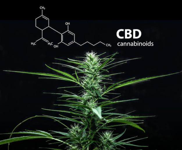 Cannabidiol (cbd) -molekülformel mit marihuana, cannabis sativa-blättern.