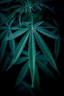Cannabis auf schwarz