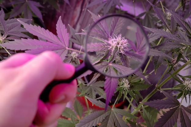 Cannabis-blütenstand unter einer lupe.