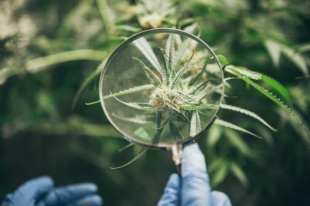 Cannabis in innenräumen anbauen, hanfanbau. wachsender topf in fugenmasse. vegetatives stadium des marihuana-wachstums. medizinisches marihuana. eine große menge marihuana.