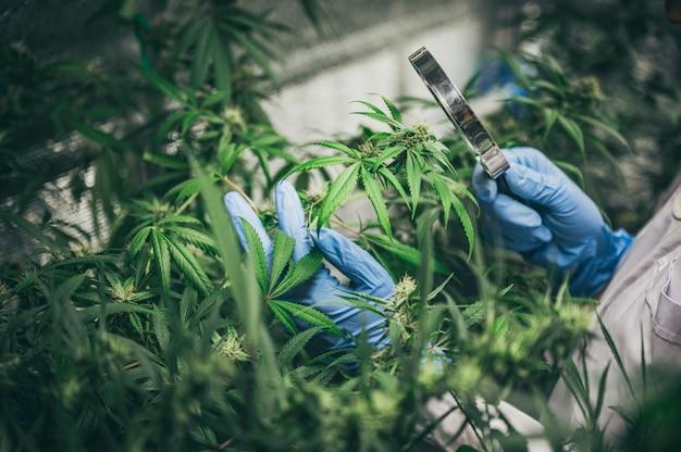 Cannabis in innenräumen anbauen, hanfanbau. wachsender topf in fugenmasse. vegetatives stadium des marihuana-wachstums. medizinisches marihuana.