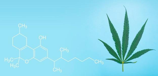 Cannabis (marihuana) blätter auf einem minimalen blau