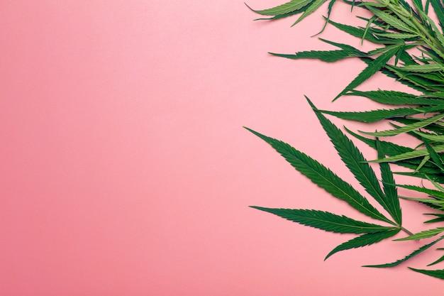 Cannabis (marihuana) blätter auf einem minimalen rosa