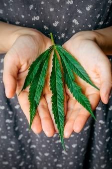 Cannabis (marihuana) blätter in weiblichen händen.