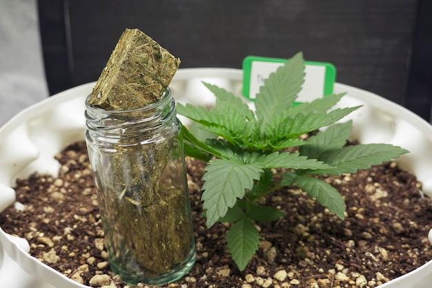 Cannabis sativa blätter, marihuana pflanzen wachsen drinnen.