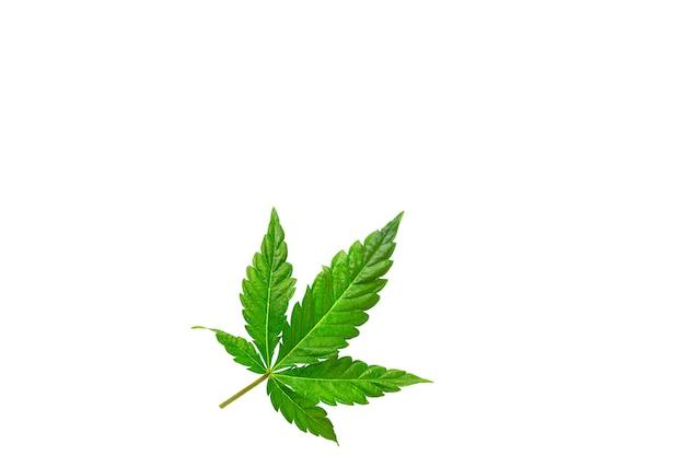 Cannabisblatt auf weißem hintergrund isoliert. medizinische marihuanablätter der sorte jack herer sind eine kreuzung aus sativa und indica.