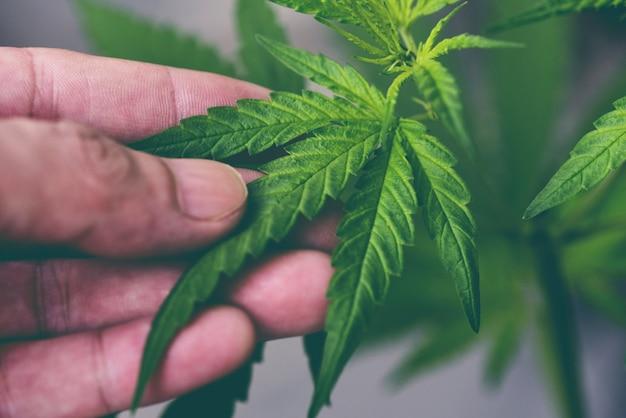 Cannabisblatt, marihuana verlässt cannabispflanzenbaum, der auf der farm wächst, hanfblatt mit der hand