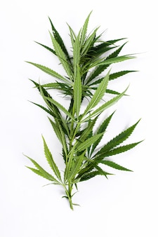 Cannabisblattpflanze