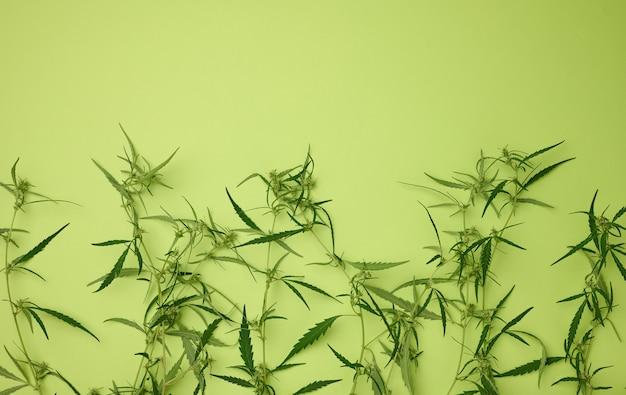 Cannabiszweig mit grünen blättern auf grünem hintergrund, alternativmedizin, flache lage