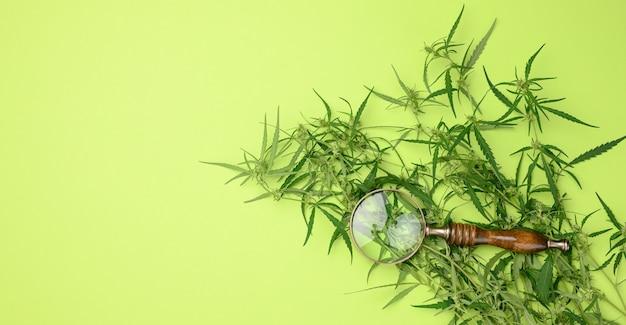 Cannabiszweig mit grünen blättern und holzlupe auf grünem hintergrund, alternativmedizin, flache lage