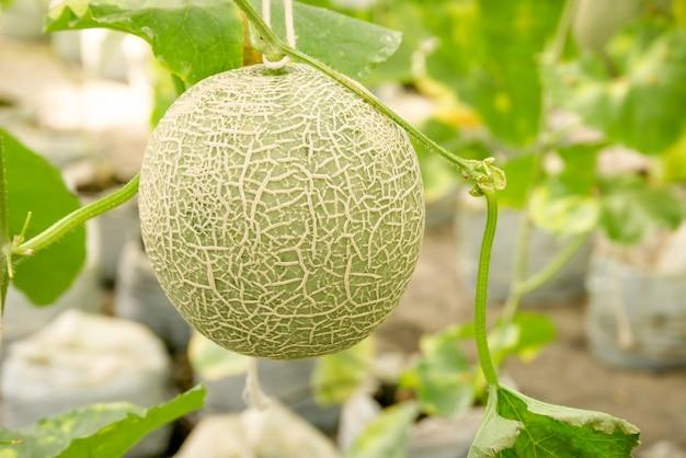 Cantaloupe-melonen, die in einem gewächshaus wachsen und von string-melonennetzen unterstützt werden