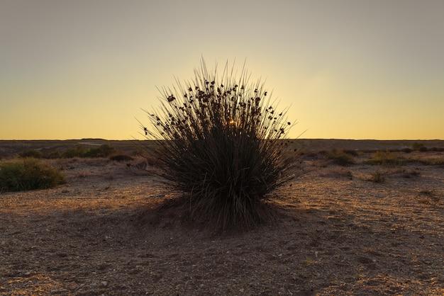 Cape rush, stacheliger busch in der wüste