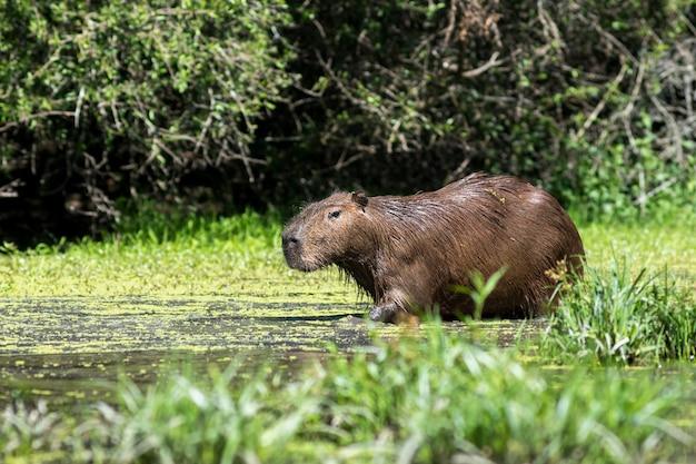 Capibara betritt einen see in freier wildbahn