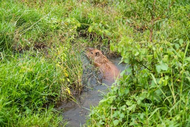 Capybara auf dem see