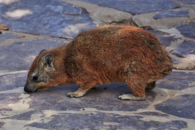 Capybara auf safari in kenia und tansania, afrika
