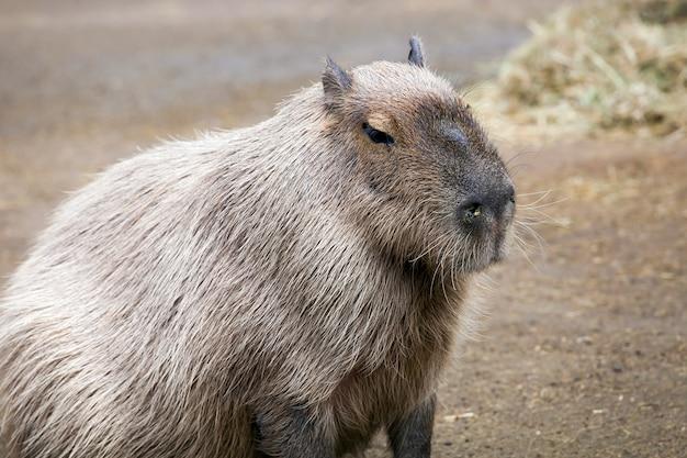 Capybara (hydrochoerus hydrochaeris) ist das größte nagetier der welt
