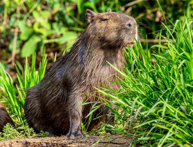 Capybara in der nähe des flusses im gras