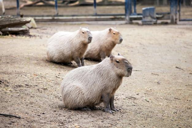 Capybara ist das größte nagetier der welt