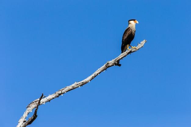 Caracara mit südlicher haube, die auf einem ast unter dem sonnenlicht und einem blauen himmel steht