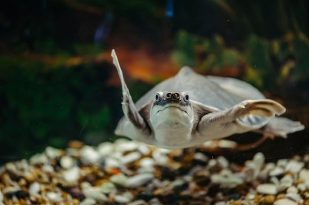 Carettochelys insculpta. die fröhliche schildkröte schwimmt unter wasser. lustige tiere.