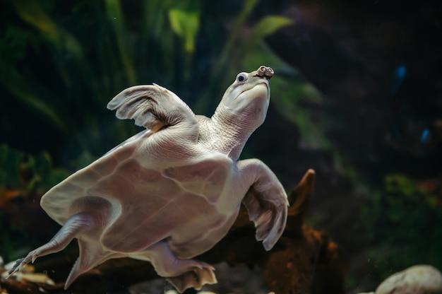 Carettochelys insculpta. fröhliche schildkröte schwimmt unter wasser. lustige tiere.