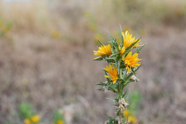 Carthamus tinctorius oder saflor, gelbe wildblume mit scharfen ähren am stiel.